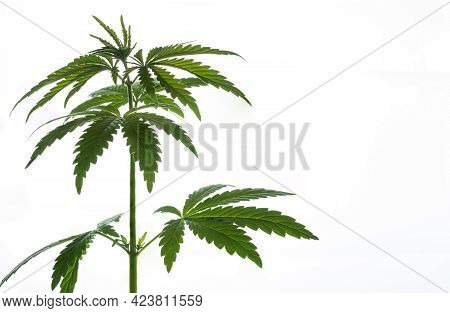 Brightly Lit Thickets Of Cannabis Plants Isolated On White Background.