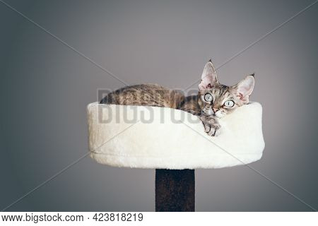Close Up Photo Of A Devon Rex Cat With Funny Face Expression Laying Down On Top Of Cat Furniture - T