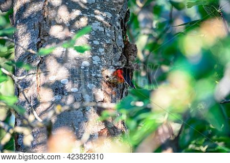 Great Spotted Woodpecker Male Feeding Young In Nest
