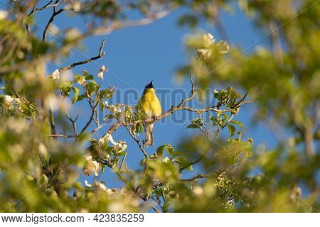 A Yellow Breasted Chat Singing From The Tree Tops.