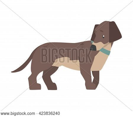 Dachshund Dog With Blue Collar, Cute Pet Animal With Brown Coat Cartoon Vector Illustration