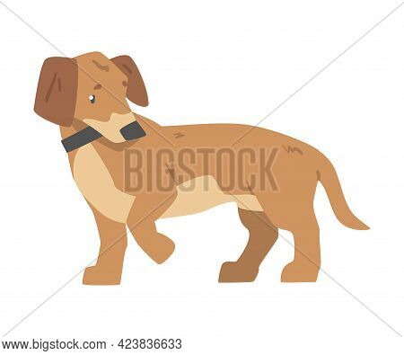 Dachshund Dog, Cute Pet Animal With Light Brown Coat And Collar Cartoon Vector Illustration