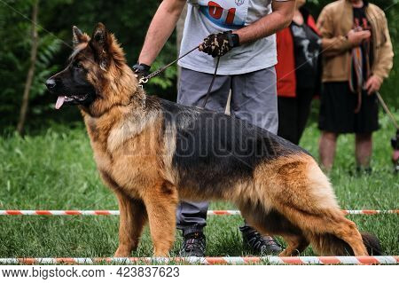 Dog Show Of Long Haired German Shepherd And Handler Who Helps To Put It Correctly And Beautifully On