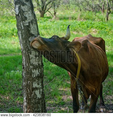 Cow Itches Sideways And Rubs Against A Birch Tree, Sunny Summer Day