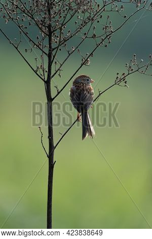 A Small Sparrow Songbird Sitting On A Weed.