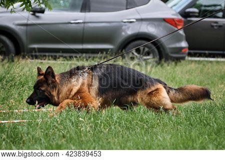 Pedigree Gait Of Shepherd Dog On Tight Leash. Beautiful Purebred Dog. German Shepherd Runs In The Ri