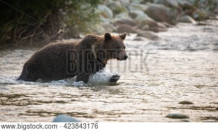 Brown Bear Crossing The River In Autumn Morning Nature