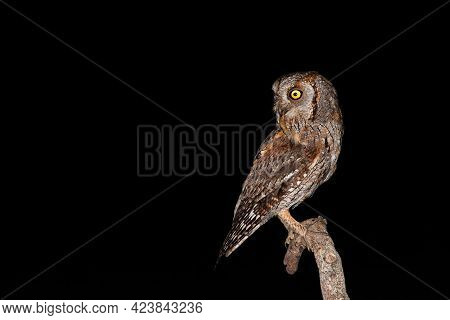 Isolated Eurasian Scops Owl Holding Insect In Beak With Black Background
