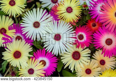 Colorful Collage Of Livingstone Daisies As Background