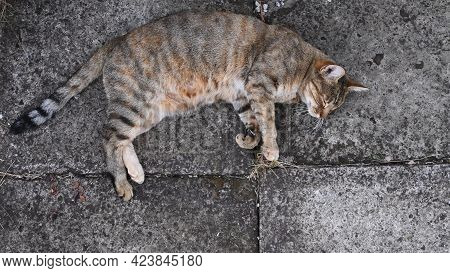 Tabby Cat Naps On Ground. Cute Fluffy Cat Sleeping With Closed Eyes. Top View Of Young Pet Animal Wi