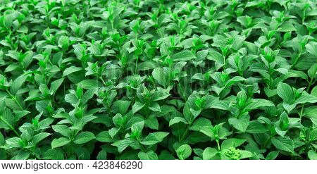 Young Seedlings Of Mint, Tender Young Leaves, Green Natural Background