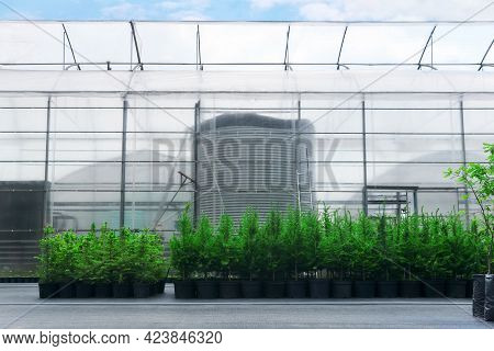 Spruce, Larch And Fir Tree Seedlings In Pots In A Tree Nursery Near The Greenhouse