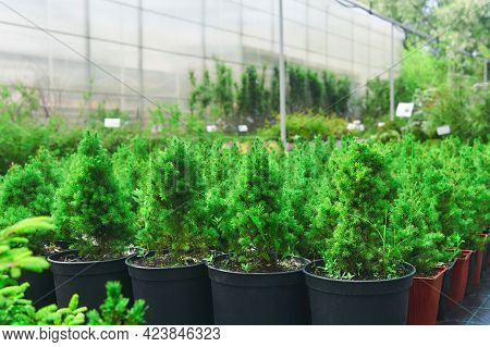 Seedlings Of Conifers And Other Plants In Pots In A Nursery Against The Background Of A Greenhouse C