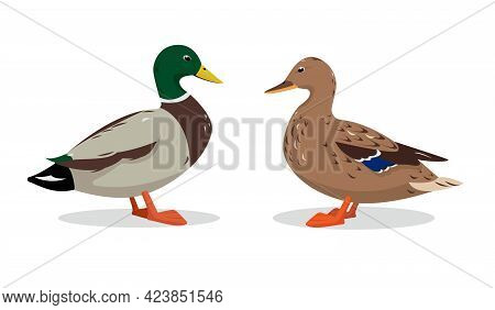 Wild Duck Set. Mallard Cute Male And Female Ducks Isolated On White Background. Cartoon Icons Vector