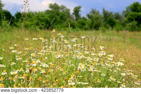 Summer scene with wild chamomile flowers meadow