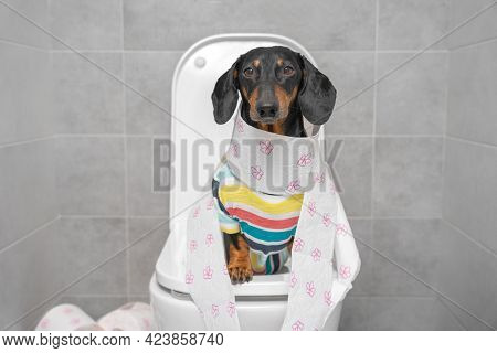 Funny Dachshund Dog In Striped Colorful T-shirt Sitting On Toilet Wrapped In Paper, Front View. Dail