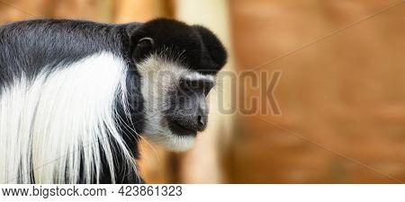 Gibbon monkey portrait on orange background