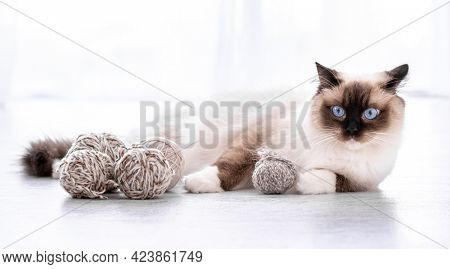 Adorable ragdoll cat with beautiful blue eyes lying on the floor with yarn balls. Portrait of breed feline pet with thread. Beautiful purebred domestic animal indoors