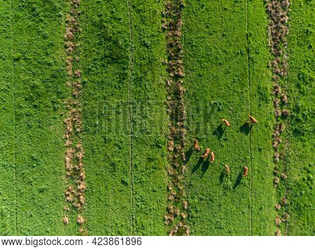 Herd of Limousin beef cattle on meadow, drone view