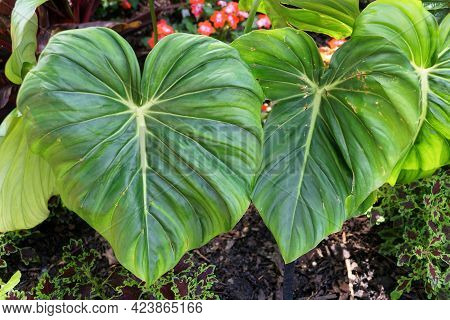 The Big Green Leaves Of Philodendron Dean Mcdowell