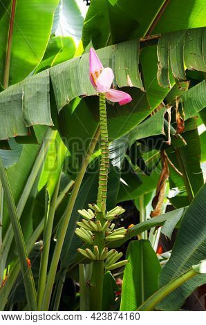 Banana flower on growing banana plant.