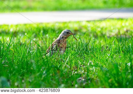 The Bird Turdus Pilaris B Holds A Captured Worm In Its Beak. Spring, The Grass Is Green All Around.