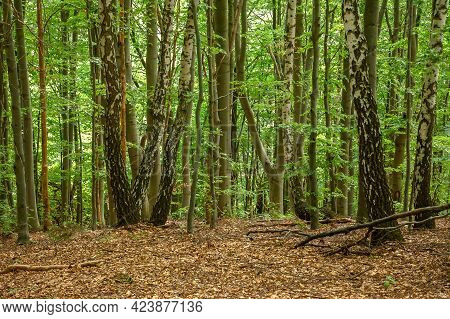 Beech Forest Landscape In Summer. Beautiful Nature Outdoor On A Sunny Day. Tall Trees In Green Folia