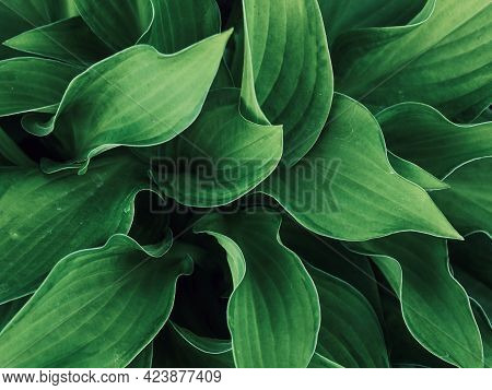 Natural Dark Green Background Of Green Leaves. Abstract Green Leaf Texture. Summer Background. Wallp
