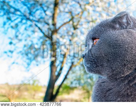 Head Of A Gray Scottish Fold Cat Against A Blue Sky. Orange Eyes. Gray Wool Scottish Fold Cat. Briti