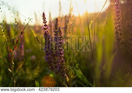 Salvia Medicinal Sage Close-up. Beautiful Floral Background In The Golden Rays Of The Sunset. The Co