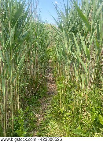 Pathway Between Green Reeds View Of It