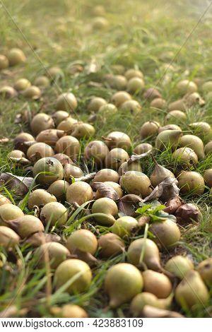 Pear Harvest.pears In The Grass. Fallen Ripe Pears In The Garden In The Sun. Organic Farm Fruits. Au