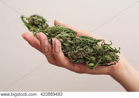 Cannabis Buds In Woman's Hands. Harvest Time. Cbd Recreation, Pastime Concept.