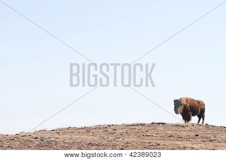 A Buffalo or Bison hanging out on a hill out in the country Colorado plains with wide open sky poster