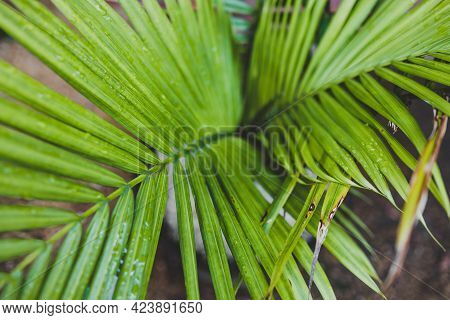 Close-up Of Majestic Palm Leaves Growing Into Each Other In Sunny Backyard