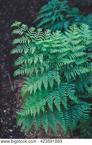 Close-up Of Green Fern Leaves With Intricate Details And Geometry