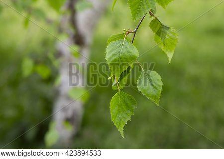 Birch Branch Betula Pendula, Silver Birch, Warty Birch, European White Birch With Young Green Leaves