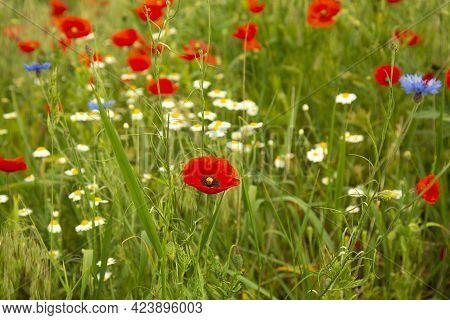 Field, Various, Wild Flowers On The Field. Daisies, Cornflowers, Poppies, Blades Of Grass. Cornflowe