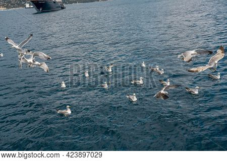 Seagulls Fighting For Bread Pieces Being Thrown Into The Sea. Flock Of Seagulls Flying Over On The S