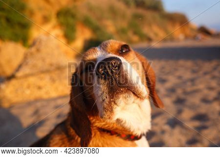 Muzzle Of A Dog Of Breed Beagle In The Sand Close-up. Selective Focus, Blur.