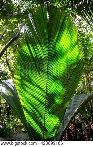 Lantannyen Fey (phoenicophorium Borsigianum, Latanier Palm) Palm Leaf, Endemic Seychelles Species, O
