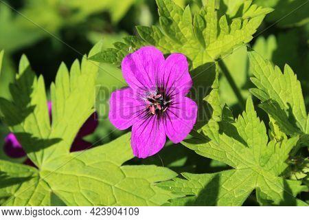 Bright Cerise Pink Flower Of Perennial Geranium 'ann Folkard' Against A Background Of Vibrant Green