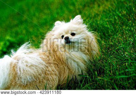 Beautiful White Dog Pomeranian. Pomeranian Puppy Cute Pet Happy Smile Walks In Nature, Green Grass