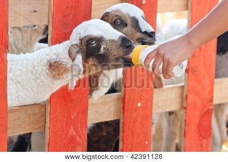 Close-up Feeding Baby Goat With Baby Bottle In A Farm