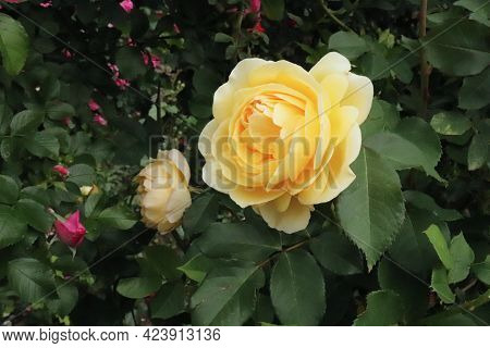 Closeup Of Beautiful Yellow Rose Graham Thomas Photographed In The Organic Garden With Blurred Leave