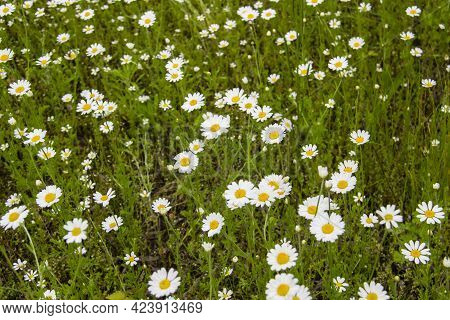 Chamomile Flowers On A Meadow In Summer. Beautiful Background With Chamomiles