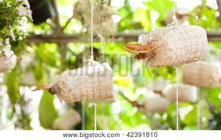 Cultivation Of Ganoderma Lucidum