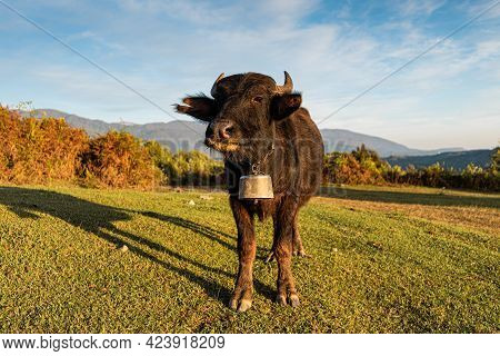 Free Black Bull With A Bell On The Grasslands Of The Mountain Landscape. Symbol Of The Year. Horosco
