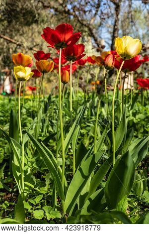 Low Angle Vertical Photo Of Colorful Fringed Tulips. Red, Orange, Yellow Fringed Tulips Are Growing