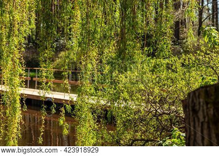 Bright Green Weeping Birch Tree (betula Pendula) Branches Hanging At Front Of Water And Bridge Durin
